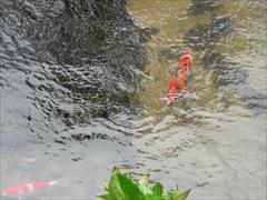 鯉の放流1