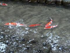 鯉の放流2