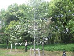 2012年の花水木2