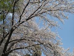 今林公園の桜1