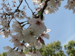今林公園の桜2