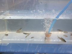 採取した魚
