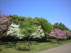 2010年の花水木1