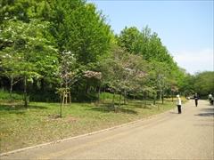 2011年の花水木3