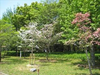 2011年の花水木