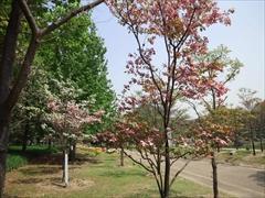2013年の花水木2